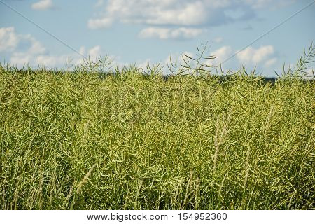 Unripe Seeds Of Rape. Field Of Green Ripeness Oilseed Rape Isolated On A Cloudy Blue Sky In Summer T