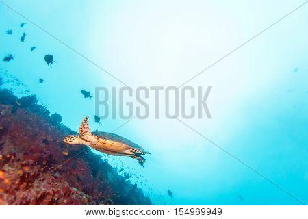 Green Sea Turtle Near Coral Reef, Maldives