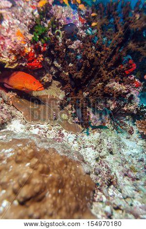 Shrimp-like Decapod Crustacean (stenopus Hispidus), Maldives