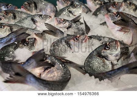Fresh sea bass on ice in the greek fish shop lined up for sale. Sea bass fishes on ice. Horizontal. Daylight. Close.