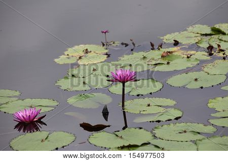 Multicolored flowers lilies grow in the water Thailand. Southeast Asia
