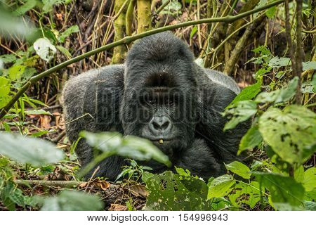 Silverback Mountain Gorilla Laying In The Leaves.