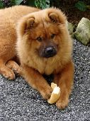 foto of chow-chow  - A Chow Chow puppy eating a  - JPG