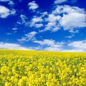 stock photo of yellow flower  - yellow flowers on spring field - JPG