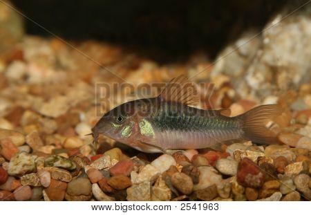 Green Corydora Fish.