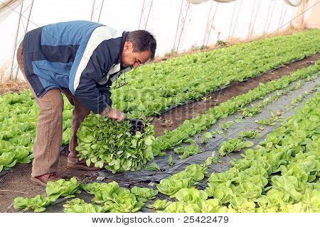 Senior Man Planting Lettuce