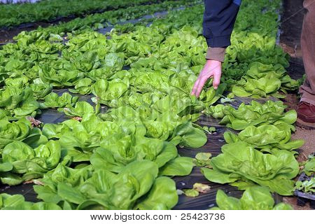 Lettuce Growing In Greenhouse