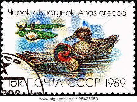 Eurasian, Common Teal, Anas Crecca Floating Lake