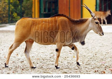 Eland Antelope full body