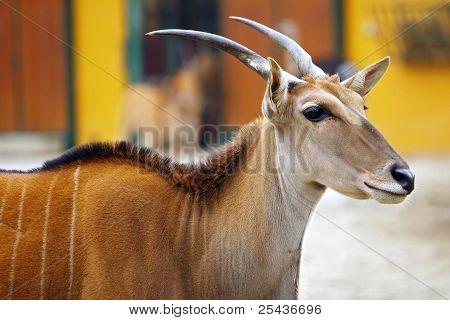 Portrait of Eland Antelope (Taurotragus oryx)