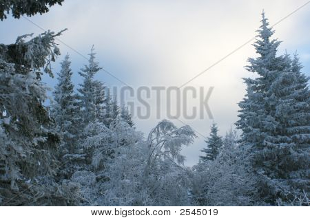 Snow Covered A Forest