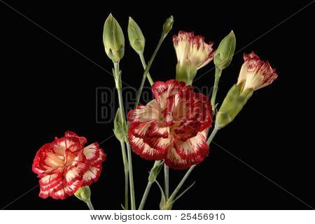 Carnation Flower Bouquet Close Up