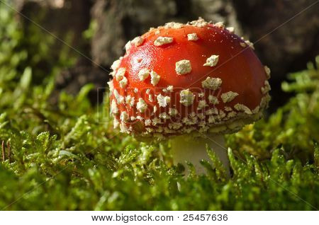 Toadstool in the birch forest (Amanita muscaria)