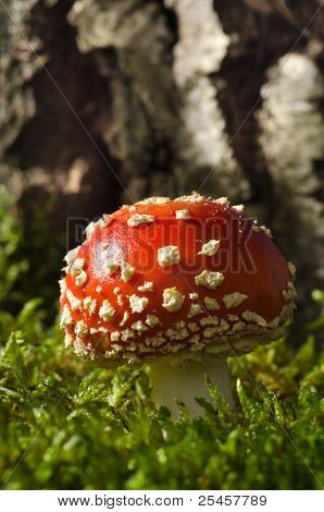 Toadstools in the birch forest (Amanita muscaria)