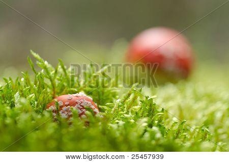 Toadstools in moss (Amanita muscaria)