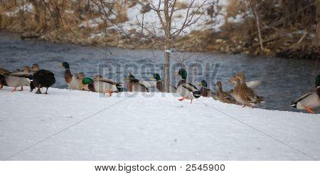 Stockente Enten und river