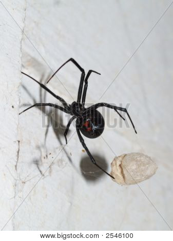 Blackwidow Spider With Egg Sack In Web