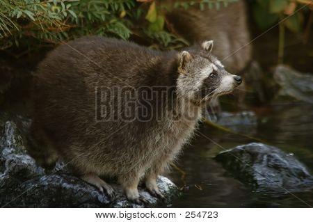Raccoon - 1