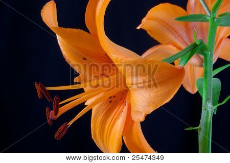 Only beautiful orange lily