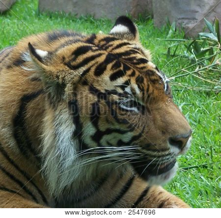 Sumatran Tiger Male Head