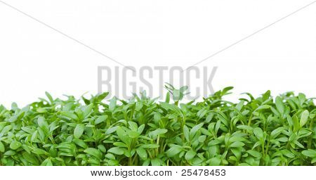 Fresh green cress isolated on white background