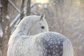 picture of dapple-grey  - beautiful dappled gray horse in a winter forest - JPG