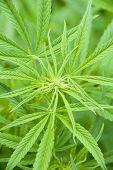Marijuana Leaves And Bud poster