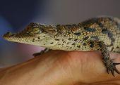 picture of coexist  - little tame crocodile farm alligator reptile predator dwarf hand coexistence - JPG