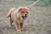 Beautiful Dog Chow-chow In The Park. Purebred Red Dog Chow Chow poster