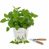 foto of citronella  - Lemon balm herb plant in an aluminum pot with leaf sprig and household secatuers isolated over white background - JPG