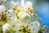 The Apple Tree In Springtime In Bloom. Beautiful White Blooming Flowers With Many Small Rain Drops.  poster