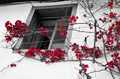 Red Bright Flowers Contrasting With Black And White Background With Window poster