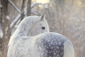foto of dapple-grey  - beautiful dappled gray horse in a winter forest - JPG