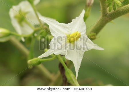 Flor de berenjena guisante