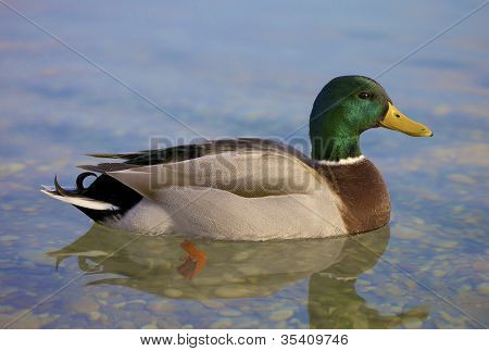 Beautiful Man Duck