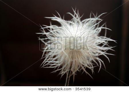 Seedhead Of Pulsatilla Pratensis