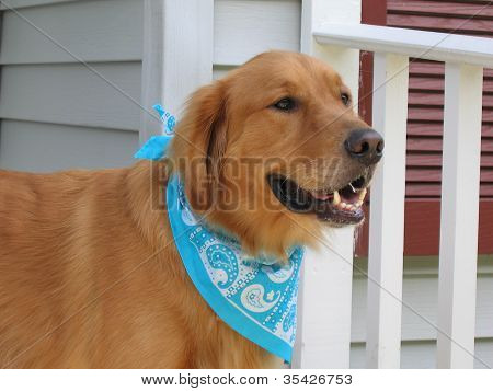 Golden Retriever On Porch