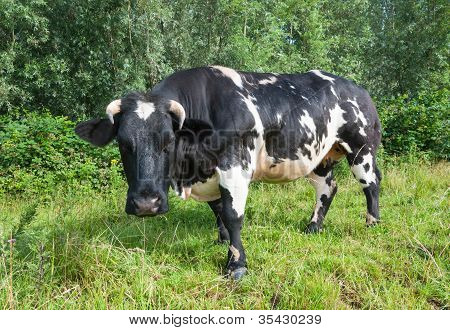 Horned Black And White Spotted Cow