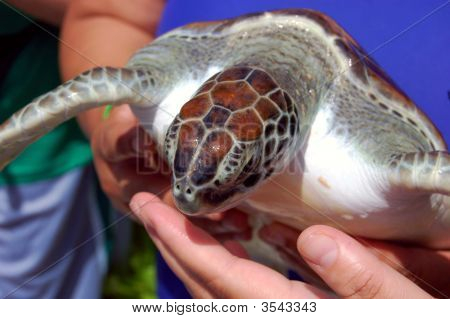 Close Up Of A Baby Sea Turle