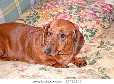 One Brown Dachshund Dog Lying On Couch