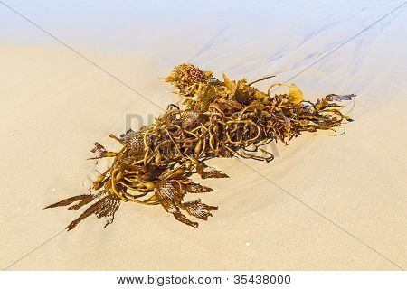 Seaweed At The Beach In The Morning