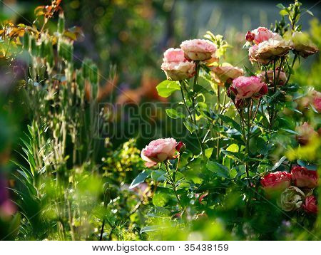 Rose Bush In A Garden.