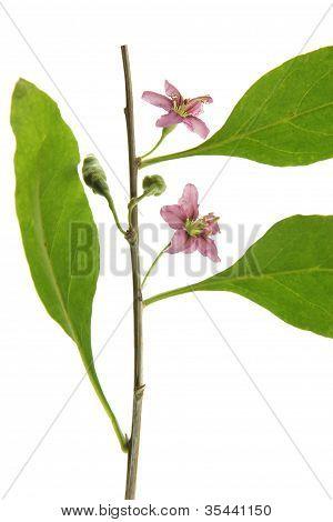 Goji Berry (Lycium barbarum)