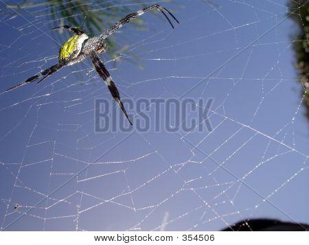 Blue Spider I