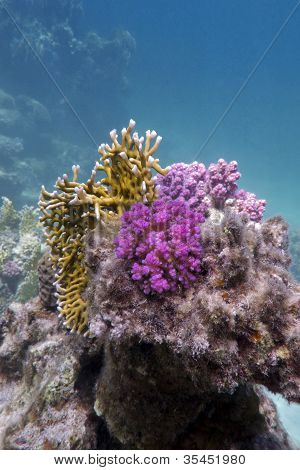 colorful coral reef on the bottom of red sea
