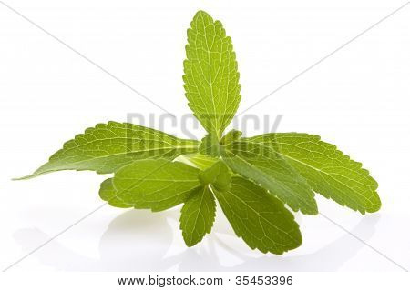 Stevia Rebaudiana Leafs Isolated On White Background