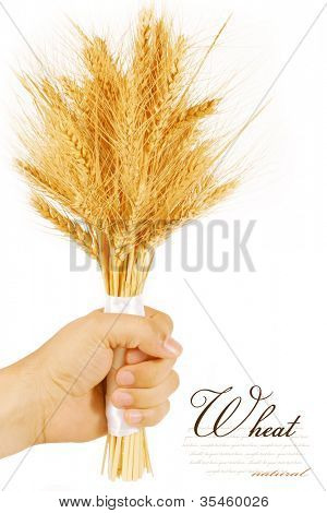 bunch of wheat ears in hand