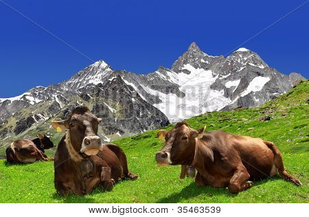 Cow on the meadow.In the background of the Ober Gabelhorn -Swiss Alps