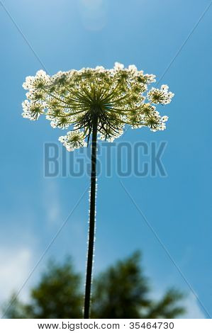 Wild white cow Parsley in front of blue sky