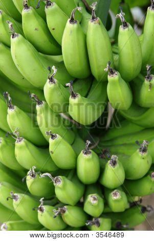 Racimo de bananos verdes